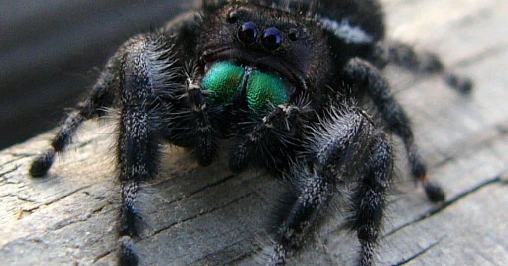 Jumping spiders are the tiny, easiest pet for kids that need minimal care.