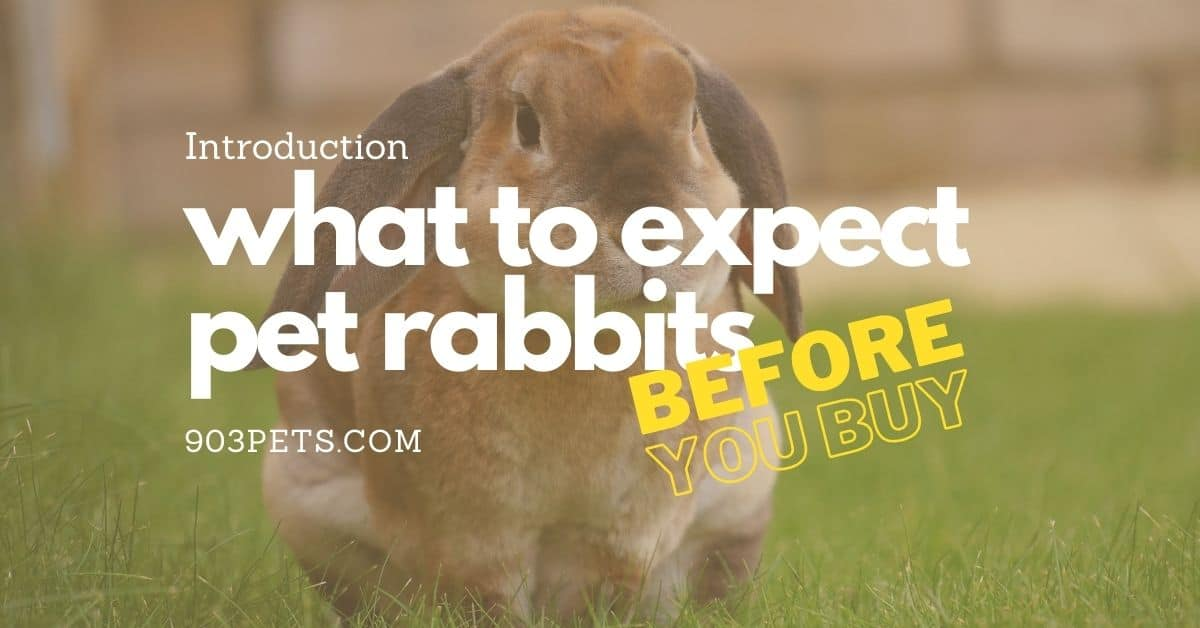 introduction to what to expect when you get a pet rabbit