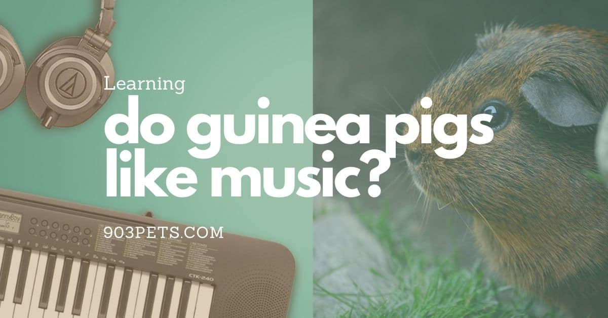 Do guinea pigs like music? What to play for them