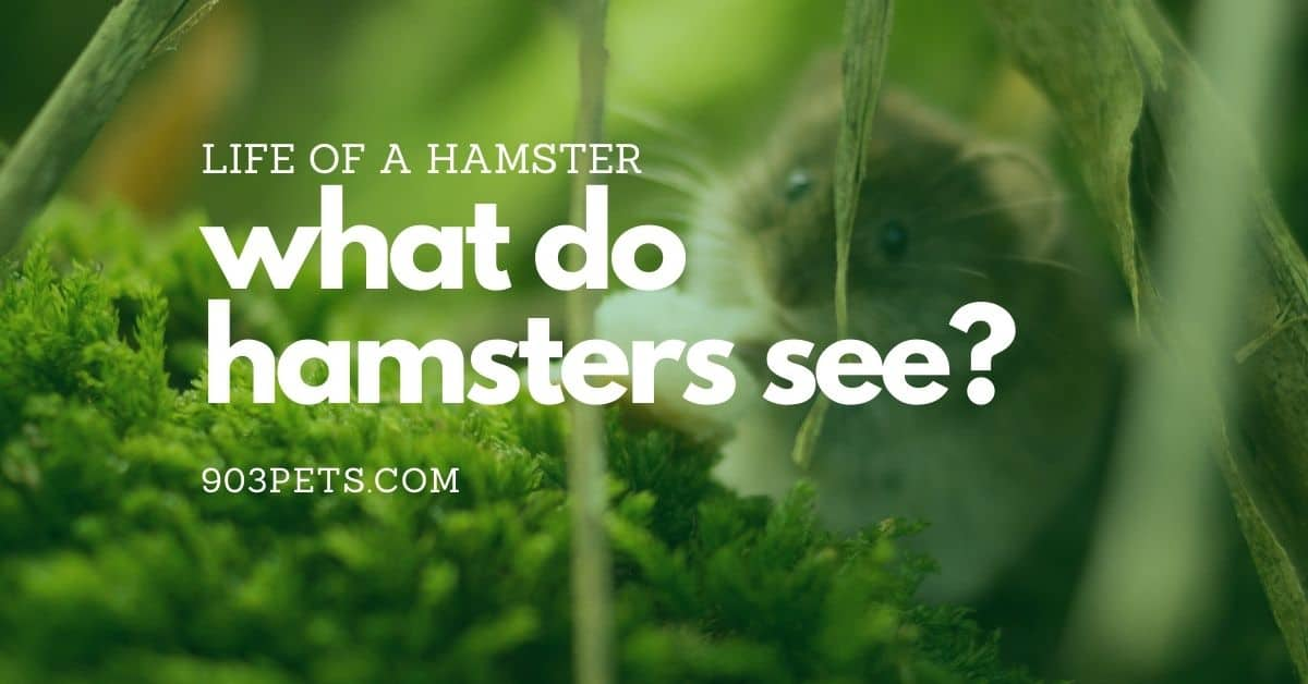 The Life of A Hamster What Do They See